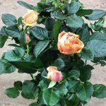 Комнатная роза. Хочу, чтобы цвела всегда!