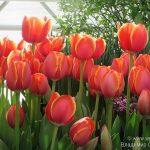 Зимняя выставка весенних растений «Репетиция весны» в «Аптекарском огороде».
