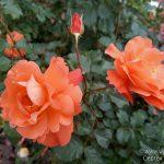Сегодня речь пойдёт о королеве цветов — розе